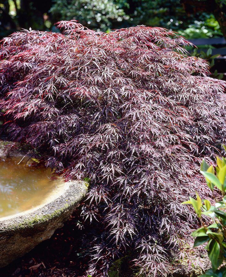 Tamukeyama Japanese Maple - Acer palmatum var. dissectum 'Tamukeyama' - Monrovia