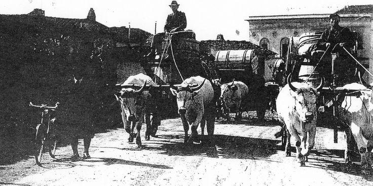 Trasporto del tabacco in botti su carri trainati da buoi.
