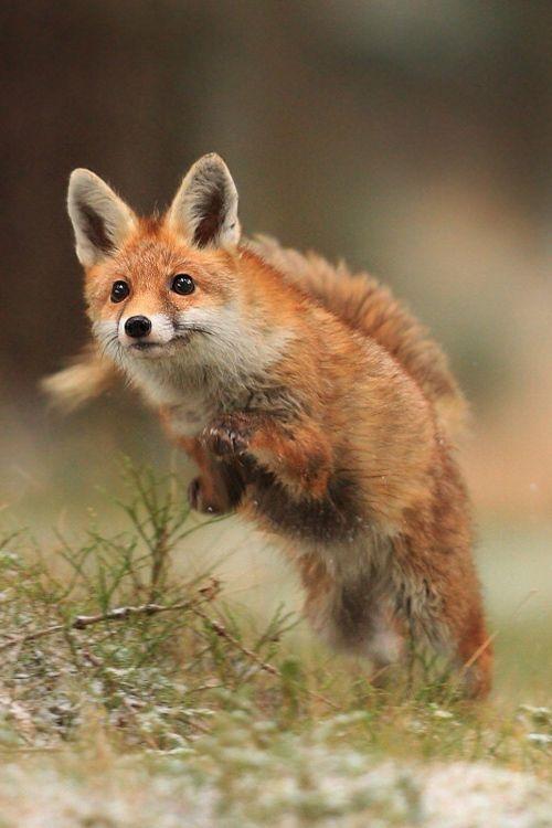 Red Fox by Helena Kuchynková