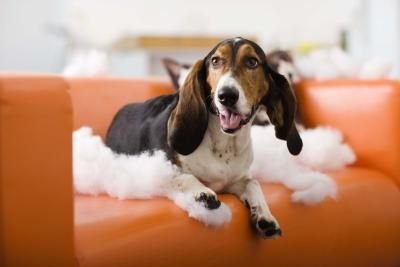 As much as we love them, dogs can cause quite a few problems around the home. They have a natural instinct to chew, they love our furniture as much as we do and they sometimes get into things they shouldn't. A few natural repellents can work wonders for keeping dogs at bay, although there is no one repellent that will work on all dogs.