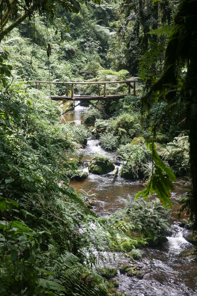 Gorilla trekking and beyond in Rwanda! Nyungwe National Park is one of the most underrated places to travel in Africa. The rainforest is amazing!