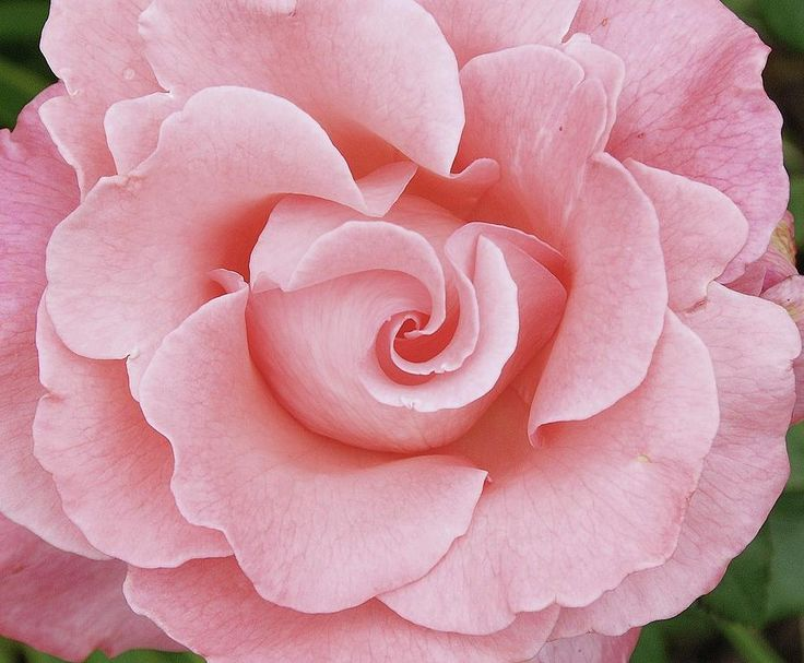Pink Rose Photograph - Pink Rose by Allen Beatty
