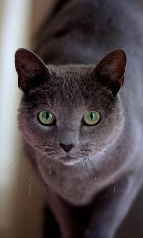 Russian Blue Cat Wallpapers - Android Apps on Google Play