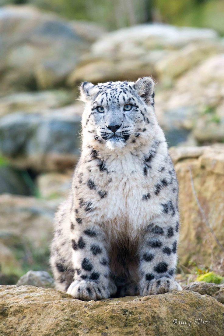 ˚Snow Leopard