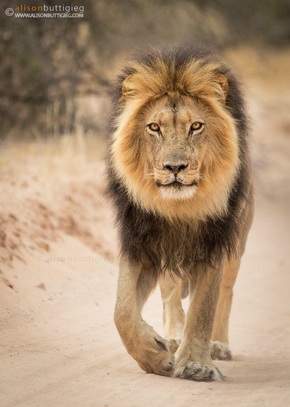 King of the Kalahari by Alison Buttigieg on 500px.com