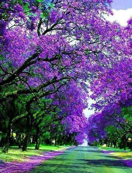 ~Jacaranda trees in Sydney, Australia. Painted purple by nature.