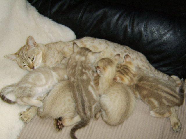 rare #cat breeds Australian Mist #cat