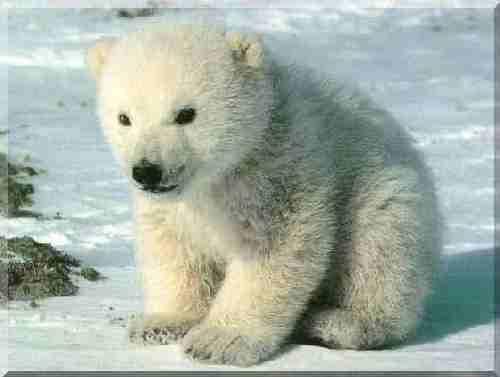 love: Babies, Polarbear, Baby Animal,  Thalarcto Maritimus, Baby Polar Bears, Ice Bears,  Ursus Maritimus, Polar Bears Cubs, Icebear