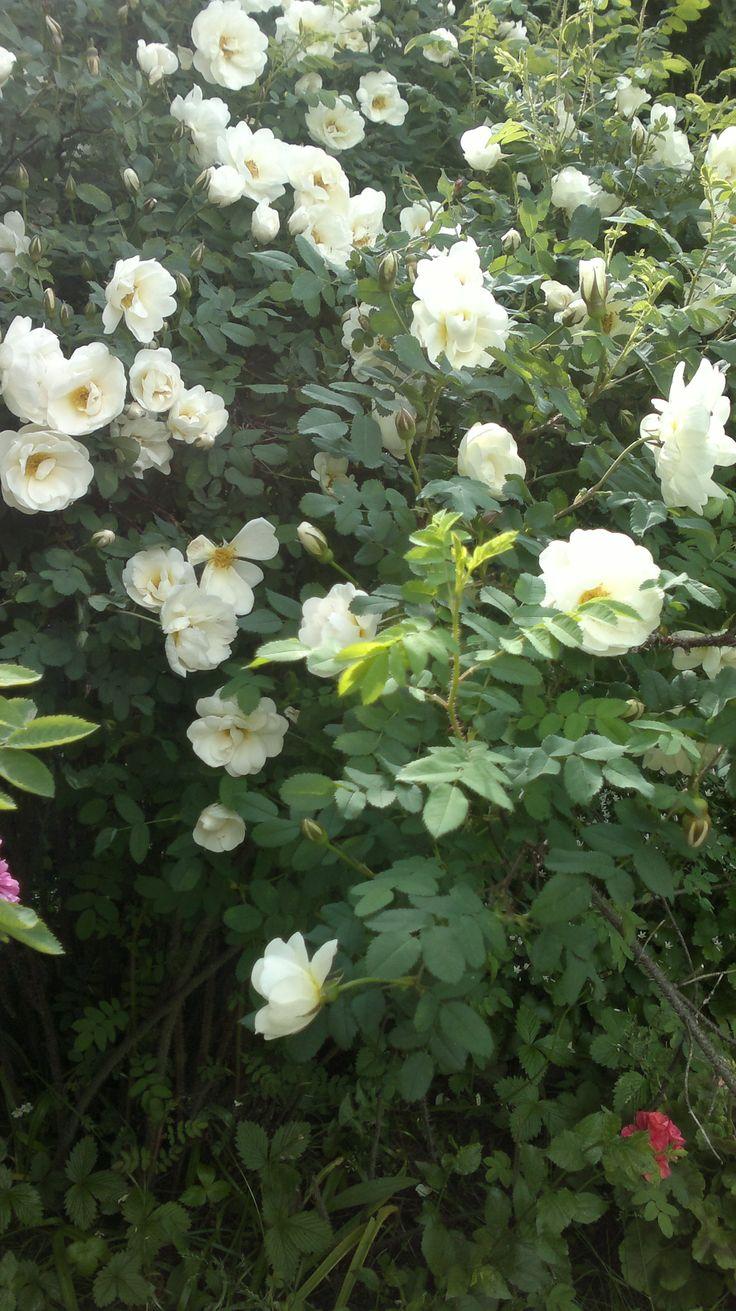 Midsummer rose, juhannusruusu (fin), Finlands vita ros (swed.)