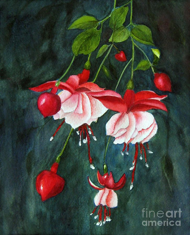 watercolor paintings of fuchsia | ... Fuchsia - Watercolor Painting - Hanging Fuchsia - Watercolor Fine Art