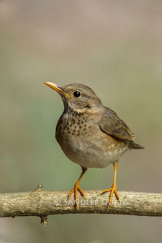 Les 554 meilleures images du tableau passereaux chanteurs - Jardin des oiseaux petit quevilly ...