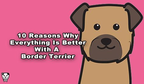Everything changes for the better from the first time you bring home your Border Terrier.