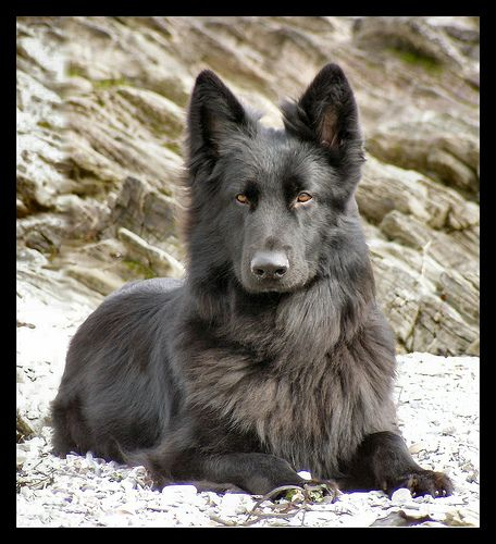 black long haired german shepherd - Google Search