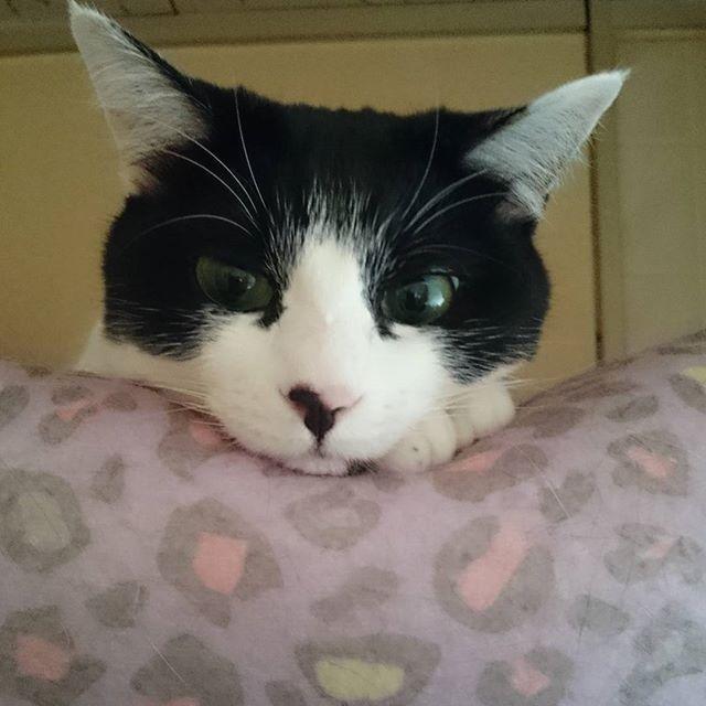 #お昼寝 Timeฅ(^•ω•^ฅ  #猫#ねこ#ネコ#neko#ねこ部#ねこばか#ねこまみれ#愛猫#家猫#cat#lovecat#catlife#猫のいる暮らし#猫のいる生活#多頭飼い#mix#りんちゃん#猫好きさんと繋がりたい#はちわれ#白黒#牛柄#cowcolor#ニャンスタグラム#にゃんすたぐらむ#にゃんだふるらいふ#catstagram