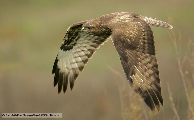 BBC Nature - Common buzzard videos, news and facts