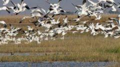 eBirders Help Identify Critical Shorebird Habitat in California
