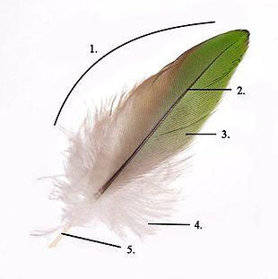 Struttura di una penna: 1. Vessillo 2. Rachide 3. Barba 4. Barbula 5. Calamo - Wikipedia