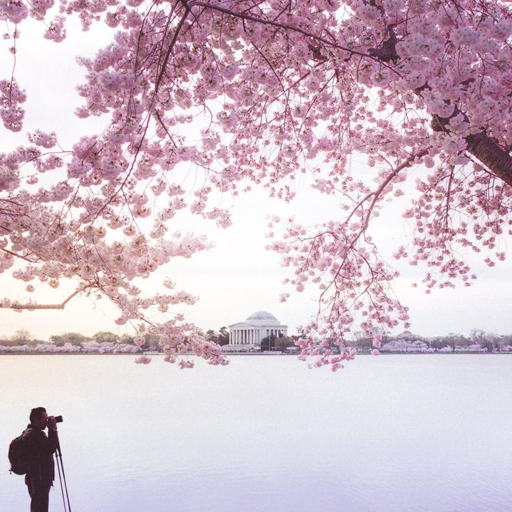 Cherry Blossoms Dc 2021 Peak Bloom Prediction And Travel Guide Cherry Blossom Dc Cherry Blossom Cherry Blossom Japan