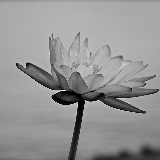 Peaceful Lotus Flower (B & W)