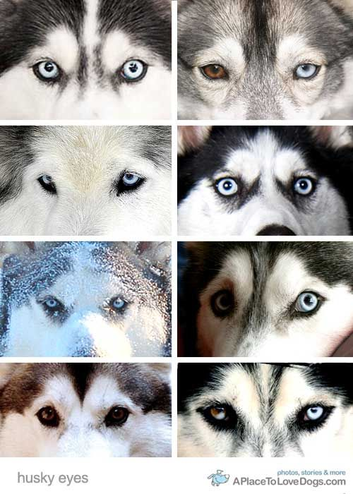 Husky eyes are so amazing. Here's a little collage we put ...
