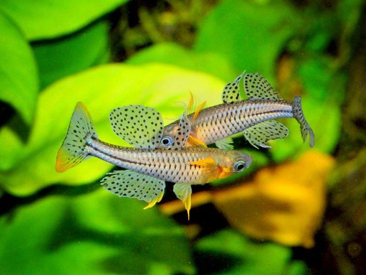 Pseudomugil gertrudae spotted blue eye papua new guinea for Blue freshwater fish
