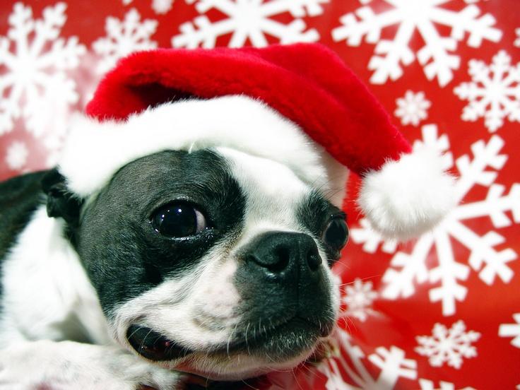 Boston Terrier as Santa claus