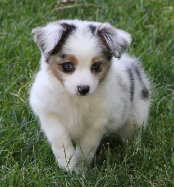 Blue Merle Toy Aussie Puppies For Sale In Co Al Ak Az