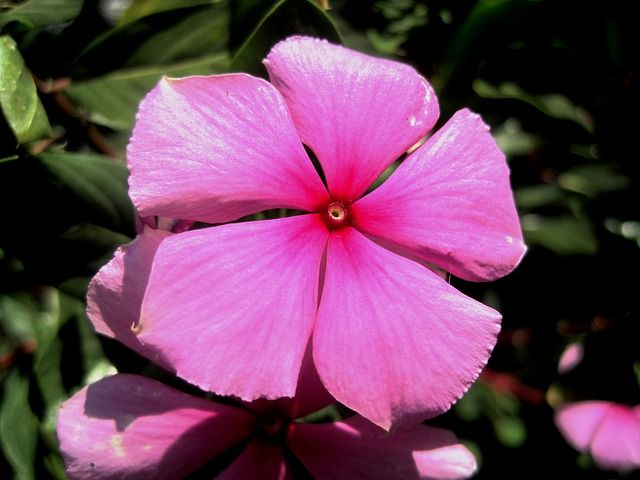 Free photo: Pink, Flower, Periwinkle, Petals - Free Image on Pixabay - 221260