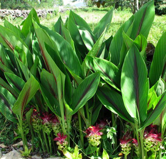 Geelwortel, kurkuma, de helende 'magische wortel'..! De 'Curcuma Longa', ook een…