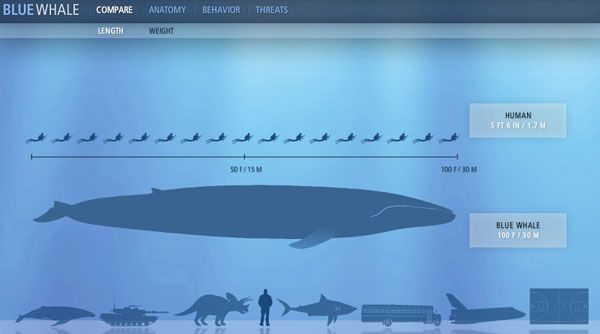 How blue whales compare to humans in size. Image: sandiegowhalewatching.com
