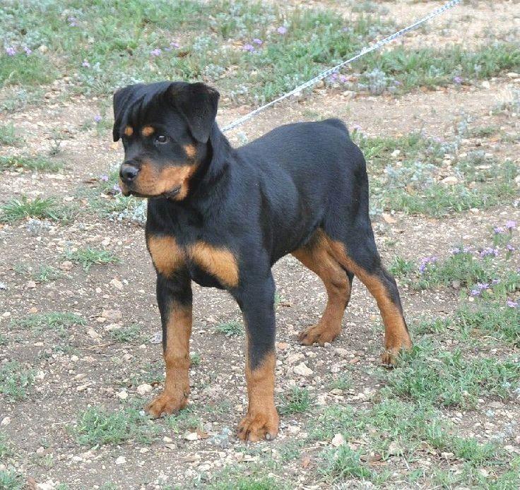 Pin by Pamela C. Wilson on Rottweiler Rottweiler puppies