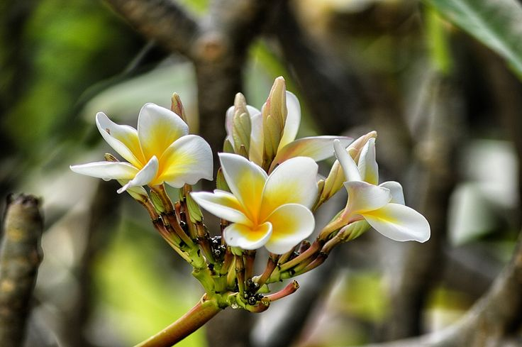 Blooming Plumeria, again! (Pun intended) -