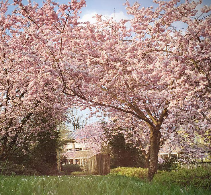 Frühlingsspaziergang durch den Park. Die Magnolienbäume und Zierkirschen blühen in voller Pracht …