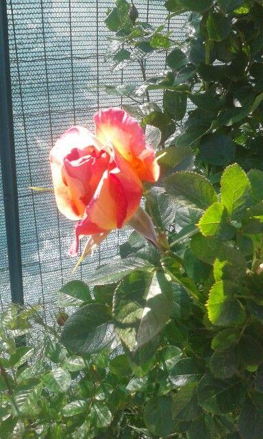 La mia rosa profumatisssimq