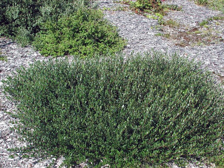 Rekommenderas! Salix x aurora 'Tuhkimo', krypvide. FinE-sort. 0,4-0,5 m hög.
