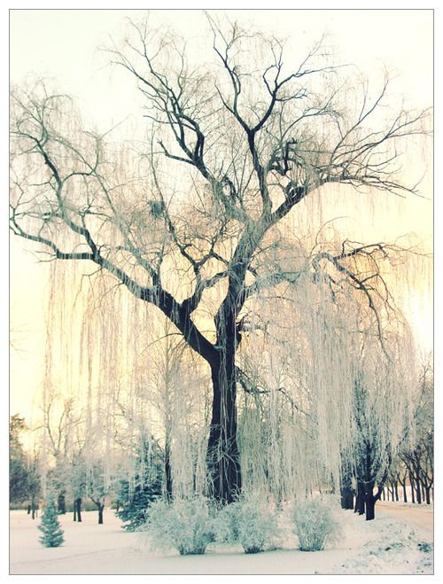 like it: Winter Trees, God Is, Willow Trees, Winter Photography, Amazing Trees, Weeping Willow, Winter Wonderland, Mothers Natural