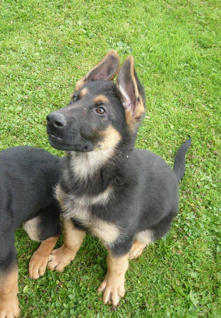 German shepherd puppies for sale buffalo ny