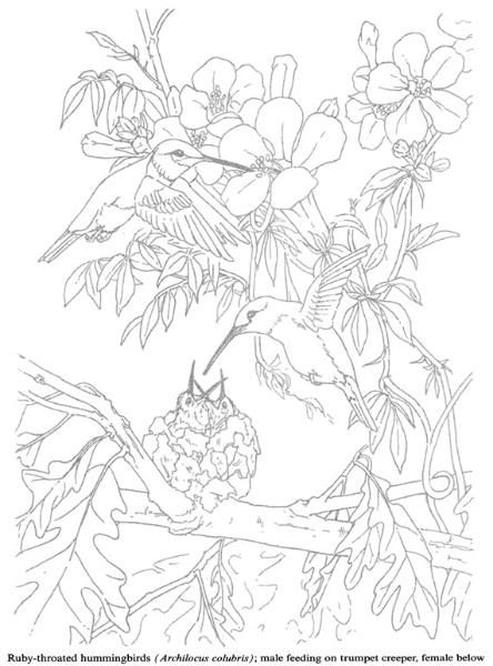 Humming Bird Coloring Pages Colouring Adult Detailed Advanced Printable Kleuren Voor Volwassenen Coloriage Pour Adulte Anti