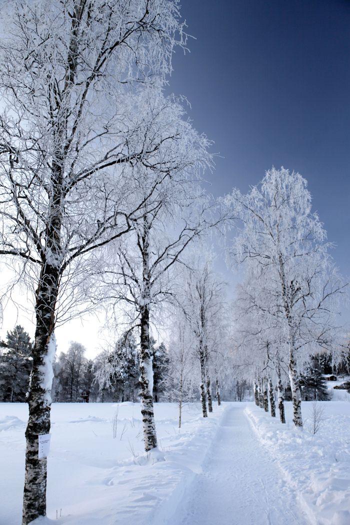 Laponie | Lapland #15 | February 2012 | 7:30 AM | Svanstein | Norbotten | Sweden