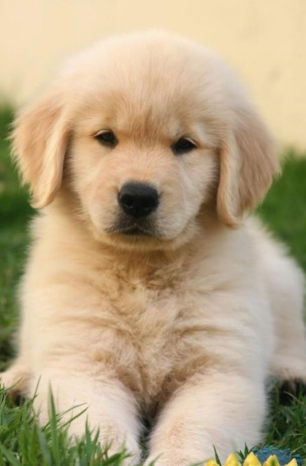 21 Cute Dogs Wallpapers Golden Retrievers Cute Dog Wallpaper Cute Dogs Breeds Cute Baby Animals