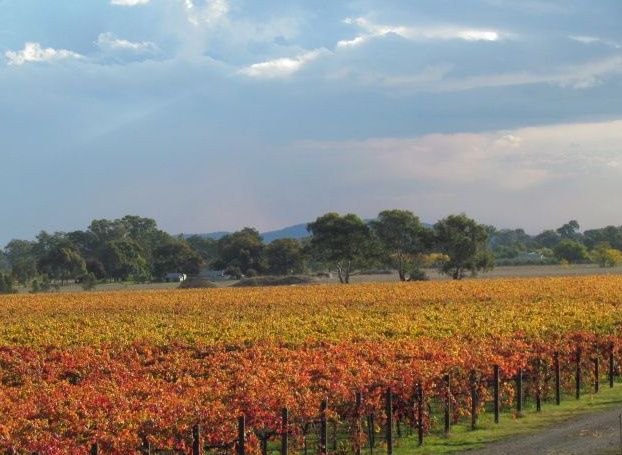 The vines are in full autumn colour in our Milawa vineyard.