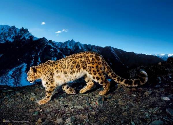Leopardo en la nieve - Puzzle de la colección National Geographic - 1000 piezas Clementoni. De venta en puzzlemania.net