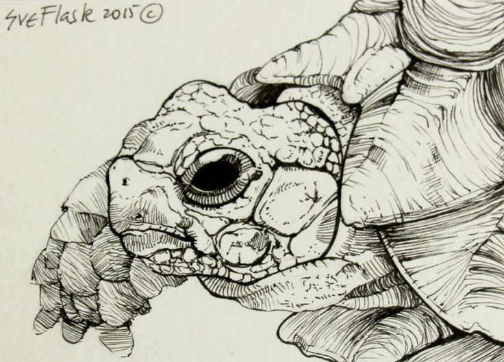 Albert - 2015 Sue Flask ACEO Original Pen Drawing Card Tortoise Turtle Animal #Miniature