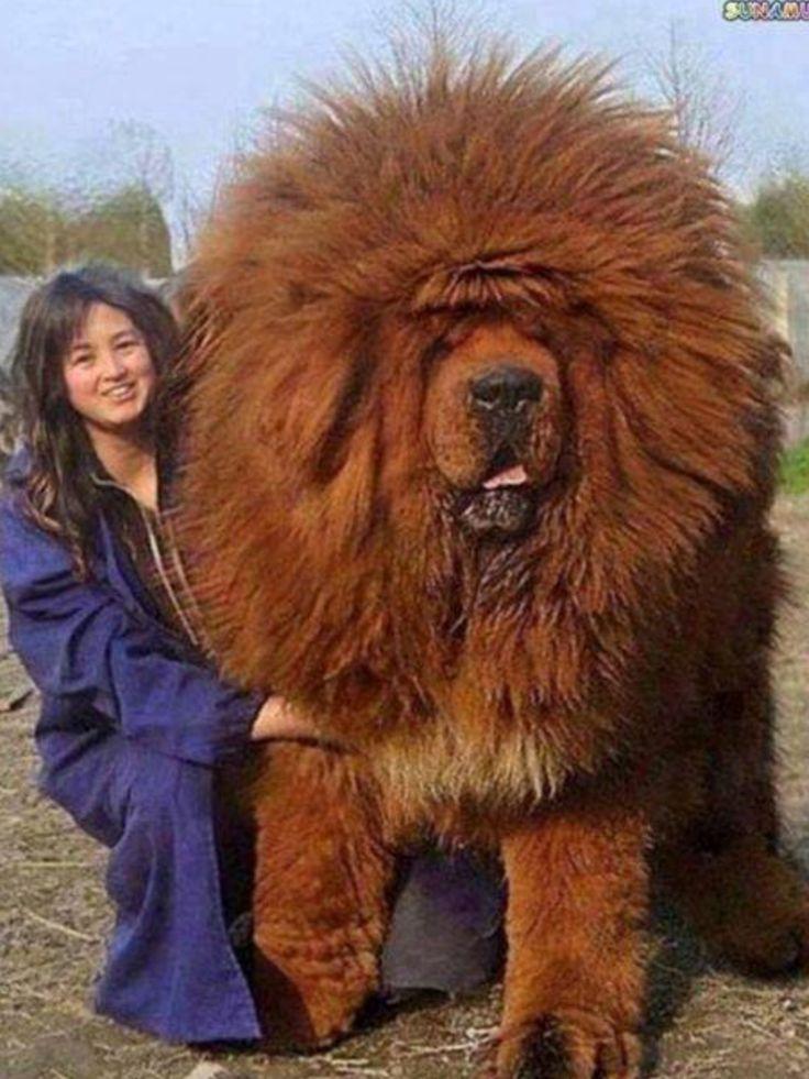 Wow! Tibetan Mastiff