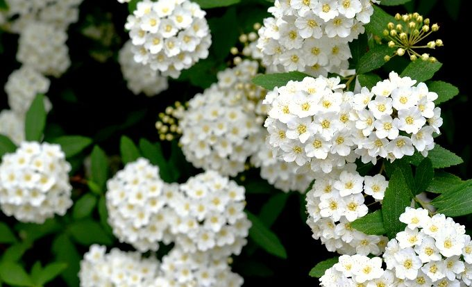 5 Must Have Shrubs with White Flowers (Reeves' Spirea) - Redeem Your Ground | RYGblog.com