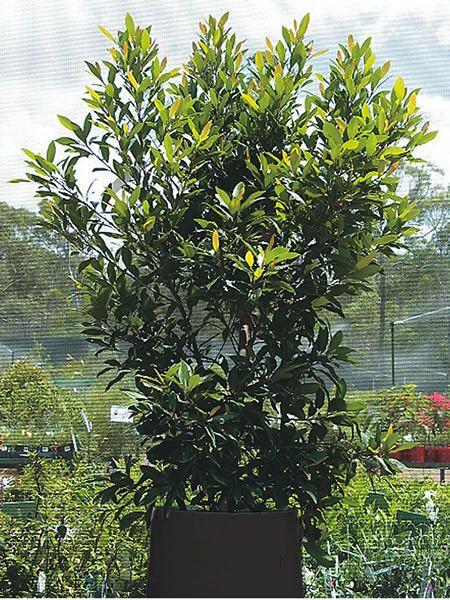elaeocarpus-reticulatus-blueberry-ash - Google Search
