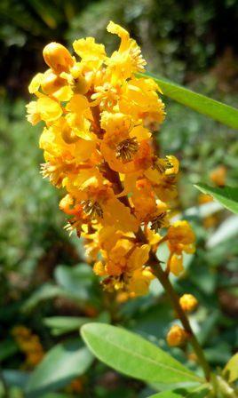 Flores do murici-do-campo (Byrsonima intermedia) na Cidade Universitária USP.