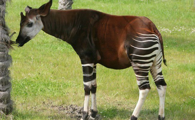 One of the goofiest looking animals on Earth is the Okapi. Even weirder is that it's the National Animal of the Democratic Republic of Congo. And the weirdest; take a guess at its closest genetic relative... Yeah, I thought it was the zebra, too, but actually, it's the giraffe.