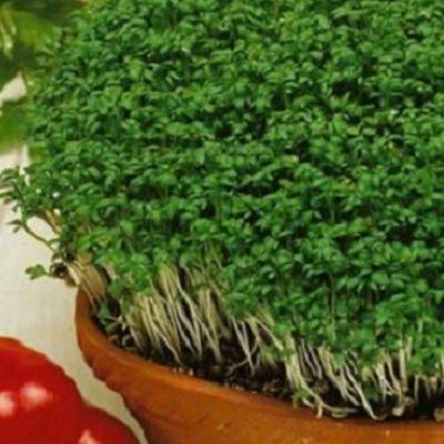 Creson De Gradina Krause. Planta aromatica cu  un miros si gust picant.