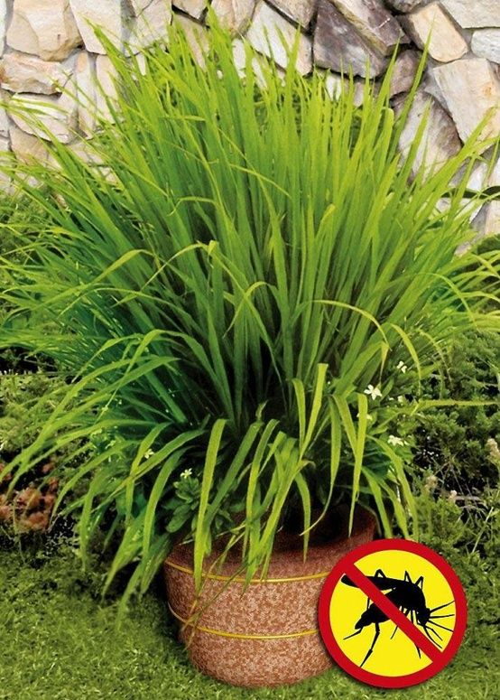 Mosquito grass (a.k.a. Lemon Grass) repels mosquitoes. The strong citrus odor drives mosquitoes away - very functional patio plant.  - around the pool